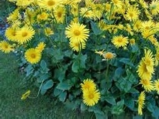 Ground covers grasses perennials plants are 15 20 inches tall with clusters of yellow daisy flowers in late spring heart shaped dark green leaves likes shade and rich moist soils mightylinksfo