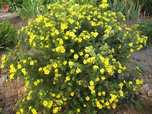 Shrubs and seeds this is a compact shrub with brilliant yellow flowers that are nearly two inches across it blossoms all summer and is a great contrast through the fine mightylinksfo